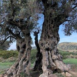 Aegina island ancient olive grove!